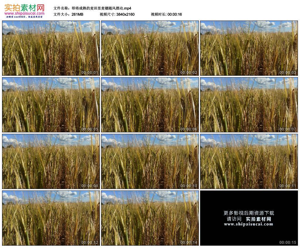 4K实拍视频素材丨即将成熟的麦田里麦穗随风摆动 4K视频-第1张