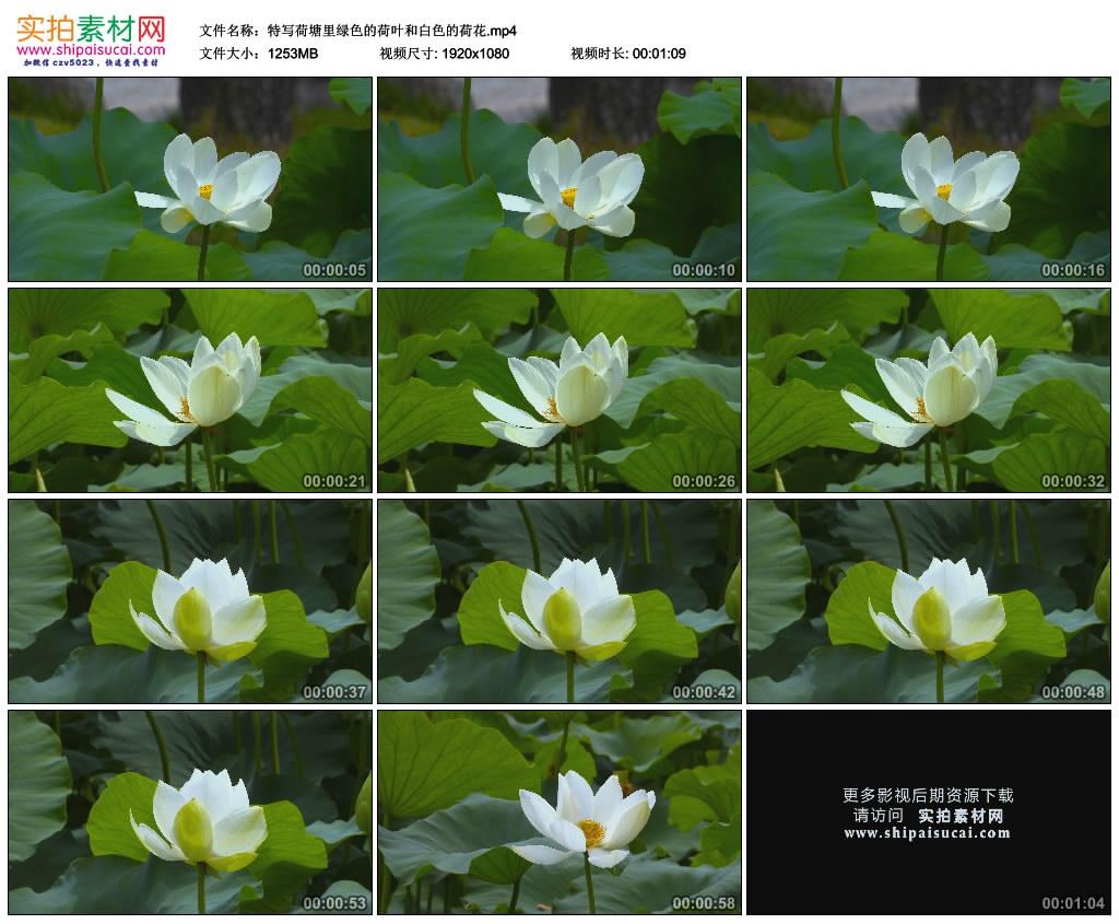 高清实拍视频素材丨特写荷塘里绿色的荷叶和白色的荷花 视频素材-第1张