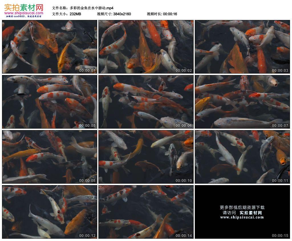 4K实拍视频素材丨多彩的金鱼在水中游动 4K视频-第1张
