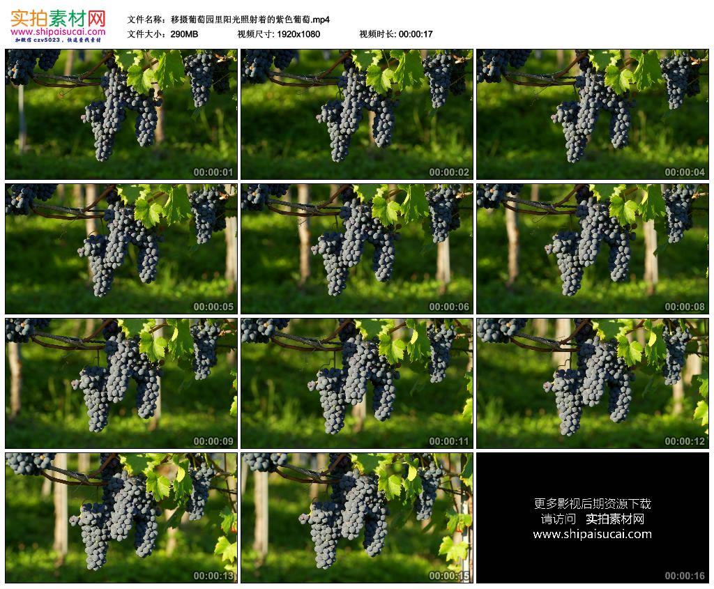 高清实拍视频素材丨移摄葡萄园里阳光照射着的紫色葡萄 视频素材-第1张