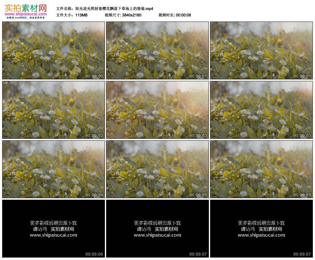 4K实拍视频素材丨阳光逆光照射着樱花飘落下草地上的雏菊 4K视频-第1张