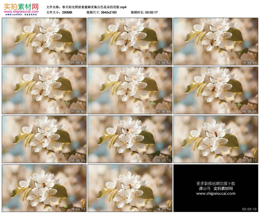 4K实拍视频素材丨春天阳光照射着蜜蜂采集白色花朵的花粉 4K视频-第1张