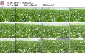 高清实拍视频素材丨摇摄阳光下一片绿色的玉米地