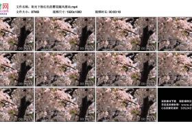 高清实拍视频丨阳光下粉红色的樱花随风摆动