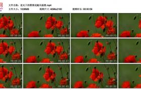 4K视频素材丨逆光下的罂粟花随风摇摆