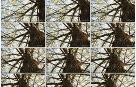高清实拍视频素材丨仰拍摇摄春天挂满嫩叶的老树