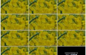 4K实拍视频素材丨特写春天随风摆动的金色油菜花