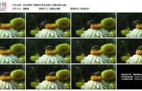 高清实拍视频素材丨阳光照射下蜜蜂在黄色花蕊上采集花粉