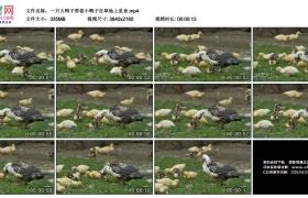 4K实拍视频素材丨一只大鸭子带着小鸭子在草地上觅食