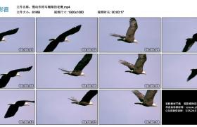 高清实拍视频素材丨慢动作特写翱翔的老鹰