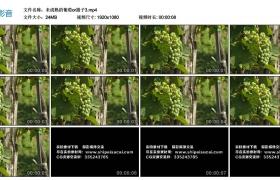 高清实拍视频素材丨未成熟的葡萄or提子3