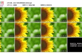 高清实拍视频素材丨逆光下绿色背景前的太阳花