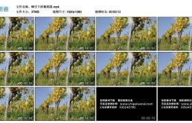 高清实拍视频素材丨晴空下的葡萄园