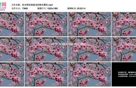 高清实拍视频素材丨阳光照射着摇曳的粉色樱花