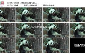 高清实拍视频素材丨动物园里一只熊猫悠闲地躺着吃竹子