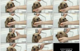 高清实拍视频素材丨特写女子给宠物狗洗澡