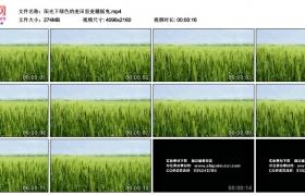 4K视频素材丨阳光下绿色的麦田里麦穗摇曳