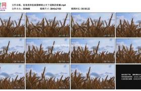 4K实拍视频素材丨低角度仰拍摇摄晴朗云天下成熟的麦穗