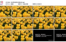 高清实拍视频素材丨阳光照射着黄色的郁金香