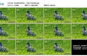 高清实拍视频丨阳光照射的草地上一只鸽子东张西望