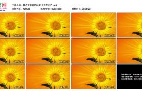 高清实拍视频素材丨橙色背景前的太阳花散发光芒