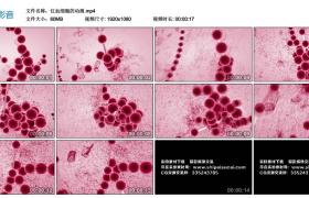 高清实拍视频丨红血细胞的动画