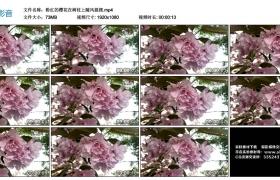 高清实拍视频丨粉红的樱花在树枝上随风摇摆