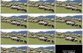 高清实拍视频素材丨高山牧场里绵羊和山羊在草地上吃草