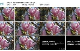 高清实拍视频丨摇摄春日暖阳照耀下的粉色玉兰花
