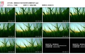 高清实拍视频丨摇摄逆光中麦田里的青色麦穗和麦芒