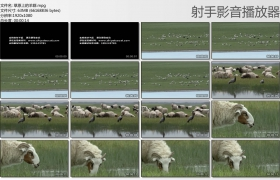 [高清实拍素材]草原上的羊群
