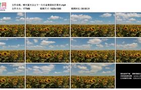 高清实拍视频素材丨晴天蓝天白云下一大片金黄的向日葵田