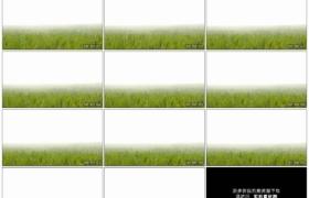 4K实拍视频素材丨移摄大雾早晨挂着露珠的青草地慢镜头