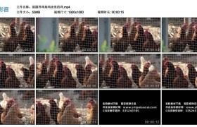 高清实拍视频素材丨摇摄养鸡场鸡舍里的鸡