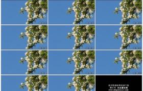 4K实拍视频素材丨晴朗的蓝天背景前苹果花盛开的树枝随风摆动