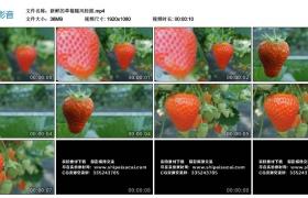 高清实拍视频丨新鲜的草莓随风轻摇