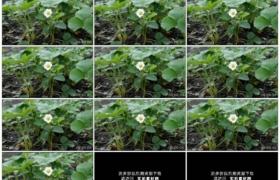 4K实拍视频素材丨特写开花的草莓