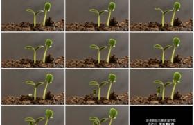 高清实拍视频素材丨阳光照射着泥土中的植物幼苗成长