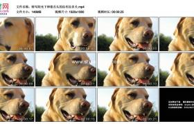 高清实拍视频素材丨特写阳光下伸着舌头的拉布拉多犬