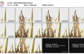4K实拍视频素材丨摇摄阳光照射着的稻谷谷穗