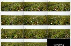4K实拍视频素材丨向右移摄一片棉花地