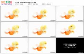 高清实拍视频素材丨孵化成功破壳而出的黄色小鸡