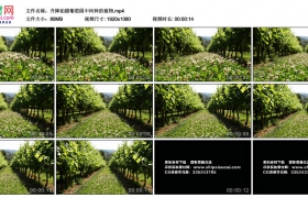 高清实拍视频丨升降拍摄葡萄园中间种的植物