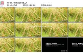 高清实拍视频素材丨稻田里的金色稻穗
