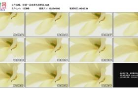 高清实拍视频素材丨移摄一朵淡黄色的鲜花