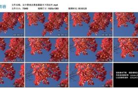 高清实拍视频丨从中景到近景拍摄蓝天下的红叶