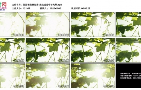 高清实拍视频素材丨摇摄葡萄藤近景-光线透过叶子光晕