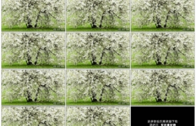 高清实拍视频素材丨春天果园里开着繁花的李子树