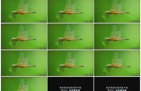 高清实拍视频素材丨微距拍摄一只蜻蜓站在绿色的树叶上