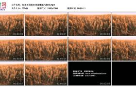 高清实拍视频丨阳光下的麦田里麦穗随风摆动
